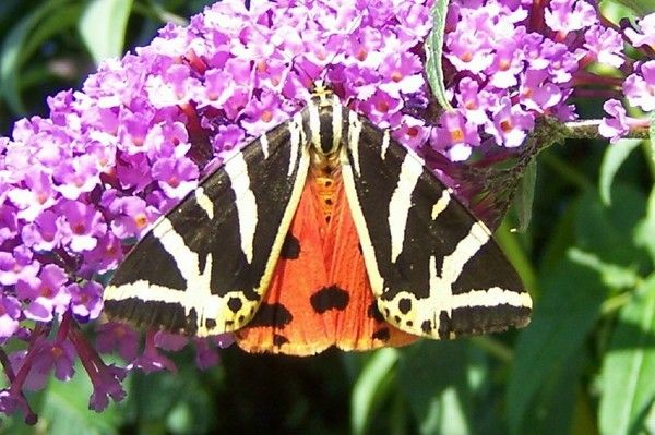 A Poem- The Jersey Tiger Moth